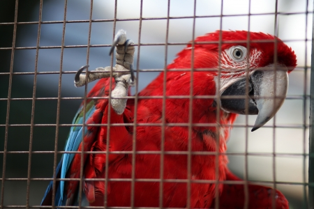 Red parrot behind a fence photo