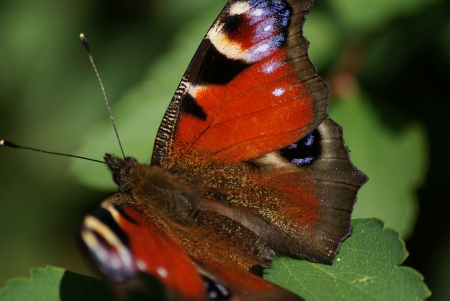 Spectacular butterfly  Inachis Io photo