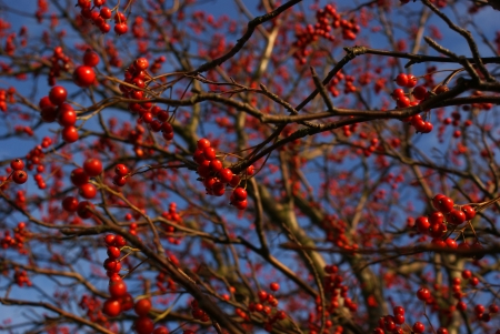 bunchy: Branches with rowanberries