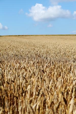 wheatfield: Wheatfield ready for harvest Stock Photo