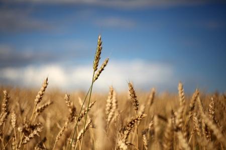 wheatfield: Wheat against summer sky, ready for harvest