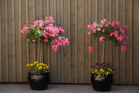 Two pink rosebushes in black jars stands in the driveway photo