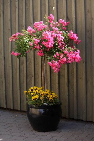 Pink rosebush in black jar stands in the driveway welcoming you photo