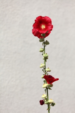 Beautiful red hollyhock against white wall