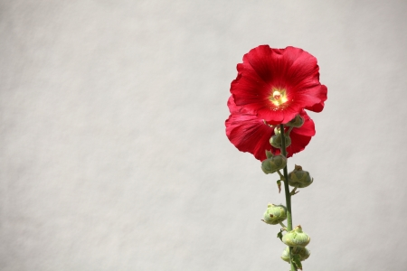 hollyhocks: Beautiful red hollyhock against white wall