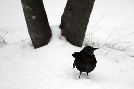 Attentive blackbird in front of tree root Stock Photo - 17725167