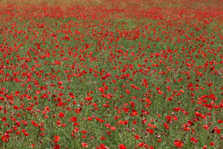 Field of poppies  Provence  photo