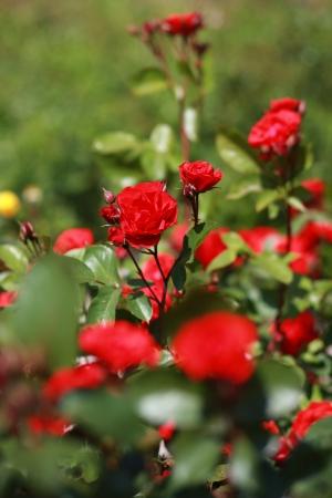 rose-bush: Róże na krzak róży. Natural. Zdjęcie Seryjne