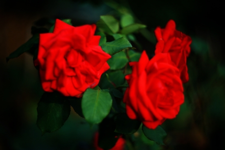 Blurry roses, focus on a the leaf.  Stock Photo