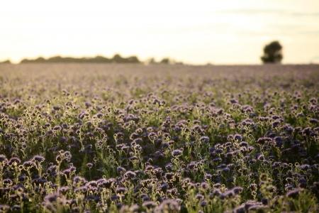 Nice purple field of phacelia tanacetifolia. Scandinavia.