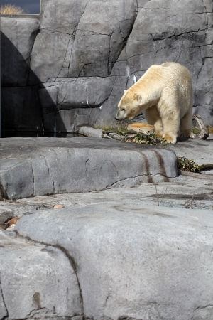 Polar bear in zoo approaching his meal  photo