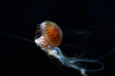 The stinging cells and venom of the compass jellyfish can produce long lasting weals in humans