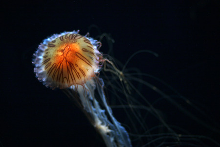 venom: The stinging cells and venom of the compass jellyfish can produce long lasting weals in humans