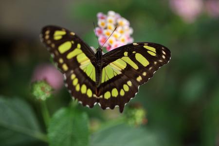 The Siproeta Stelenes butterfly, Costa Rica.