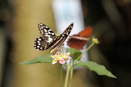 The Papilo Demoleus butterfly Stock Photo
