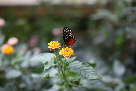 The Heliconius Helicale butterfly, Costa Rica Stock Photo