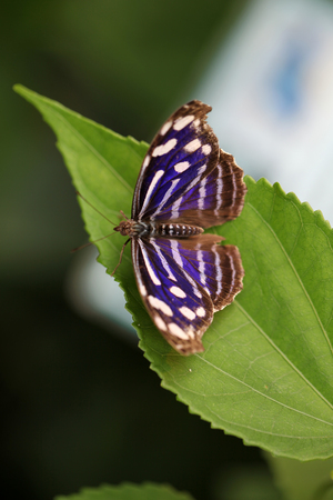 The Myselia Cyaniris butterfly, Costa Rica Stock Photo