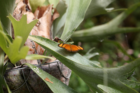 The Dryas Julia butterfly, Costa Rica