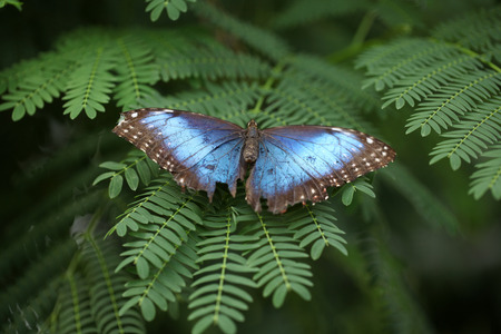 A Morpho peleides butterfly with damaged wings.