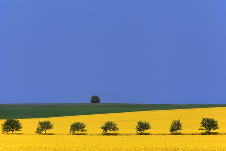 Rowan trees cuts through the landscape of rapeseed