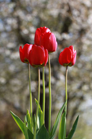 Spring flowers, tulips in early spring are a wonderful garden delight.