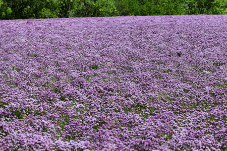 Purple and green, a chives field borders the forest