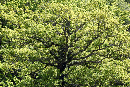 Beautiful tree oak translucent, illuminated by the sun and with clear trunk and branches Stock Photo