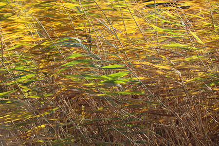 Autumn branches with reed. Juncus is a genus of monocotyledonous flowering plants, commonly known as rushes.