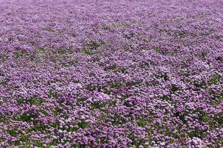 Chives in bloom, purple stem.