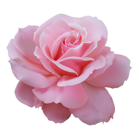 Realistic pink rose on white background