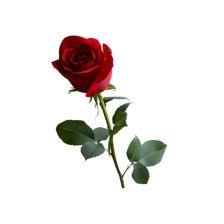 red rose with green leaves on a long green stem on a white background