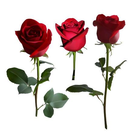 Cinco rosas rojas en un tallo largo con hojas verdes en diferentes ángulos sobre un fondo blanco. Ilustración vectorial.