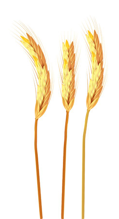 three spikelets of wheat isolated vector illustration