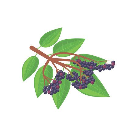 a picture of elderberry isolated on white background.