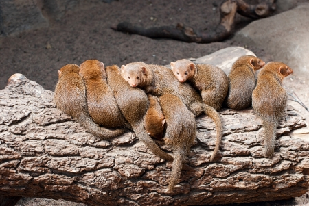 mongoose: Flock mongoose on vacation  Stock Photo