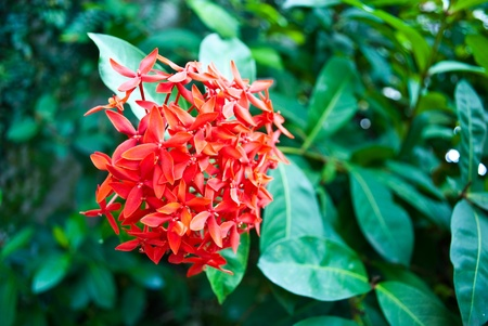 Red West Indian Jasmine Stock Photo