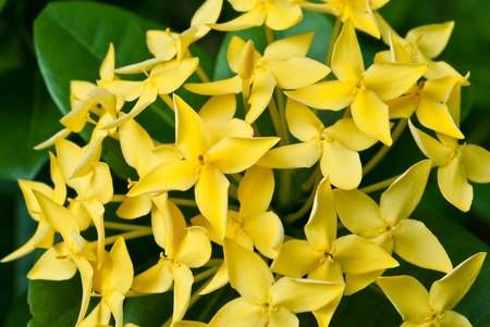 stamin: Yellow West Indian Jasmine
