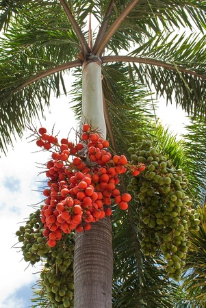 Red and green palm seeds photo