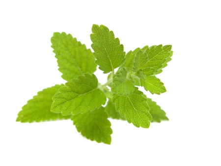 fresh lemon balm iolated on white background photo