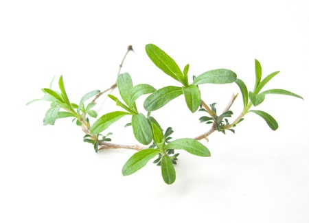 a small twig of fresh summer savory Stock Photo
