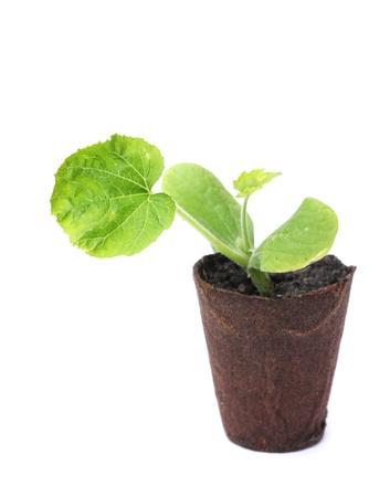 single zucchini plant isolated on white background
