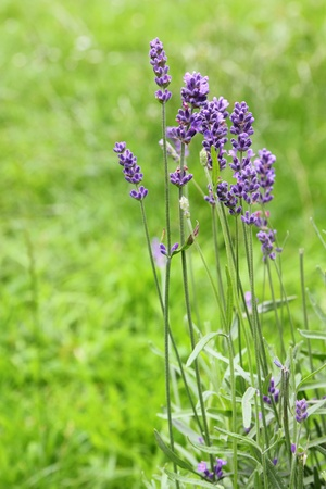 botanical medicine: beautiful blue lavender flowers in the garden