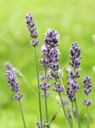beautiful blue lavender flowers in the garden Stock Photo - 9927513