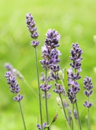 fiori di lavanda: fiori di lavanda blu bella nel giardino Archivio Fotografico