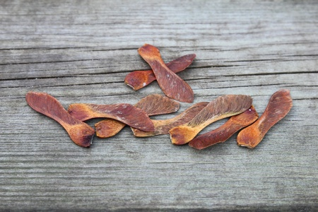 populate: dried sycamore seeds in the garden Stock Photo