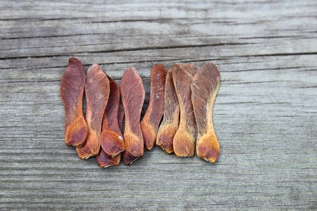 cambridgeshire: dried sycamore seeds in the garden Stock Photo