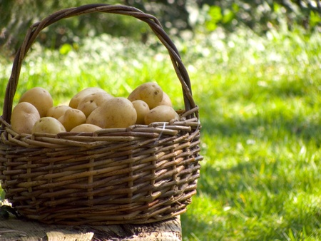 A basket full of fresh potatoes photo