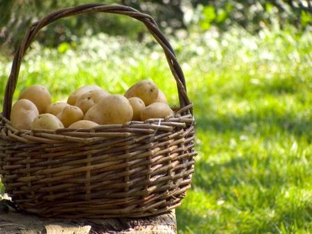 pure de papas: Una cesta llena de patatas frescas