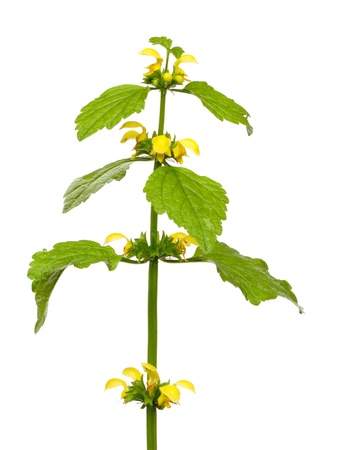 freigestellt: A goldnettle isolated on white background