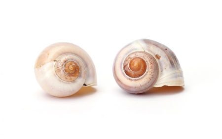 two snail shells isolated on white background photo